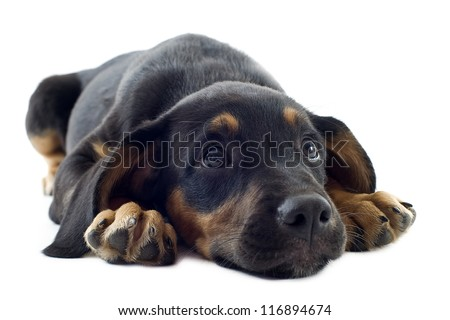 portrait of a puppy black doberman in font of white background