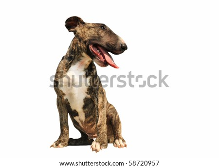 portrait of a puppy purebred bull terrier on a white background