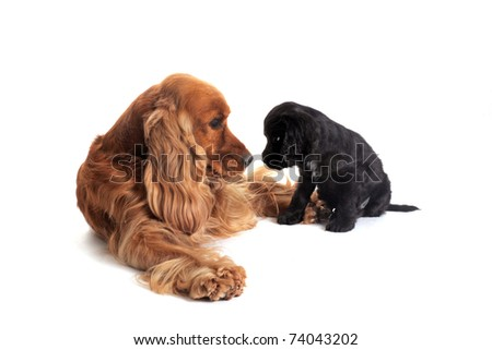 portrait of a puppy purebred english cocker  and adult in studio - stock photo