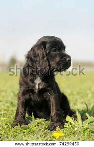 portrait of a puppy purebred english cocker in a field - stock photo