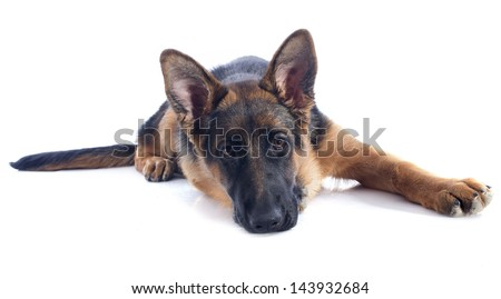 portrait of a  puppy purebred german shepherd in front of white background
