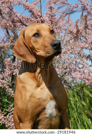 portrait of a puppy purebred Rhodesian Ridgeback with tamaris flowers behind him - stock photo