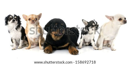portrait of a puppy rottweiler and chihuahuas in front of white background