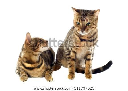 Silver bengal kittens michigan