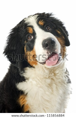 portrait of a purebred bernese mountain dog in front of white background - stock photo