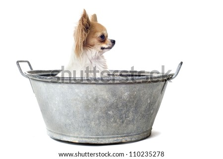 portrait of a purebred  chihuahua in a bassin in front of white background - stock photo