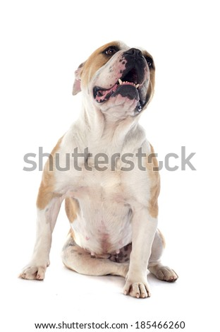 portrait of a purebred english bulldog in front of white background