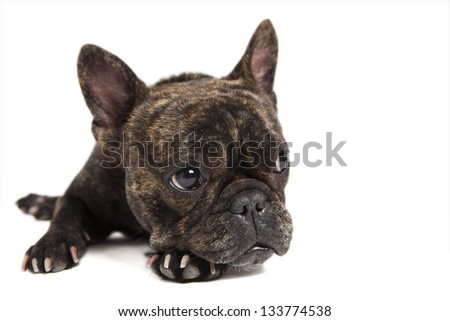 portrait of a purebred french bulldog in front of white background - stock photo