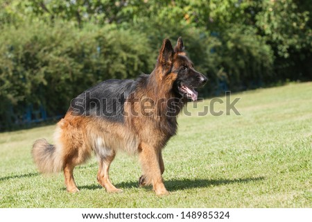 Portrait of a purebred  German Shepherd Dog on a green background