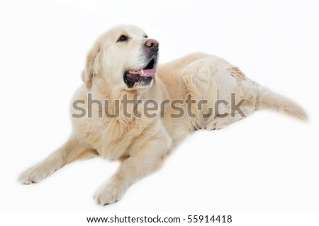 portrait of a purebred golden retriever laid down on a white background