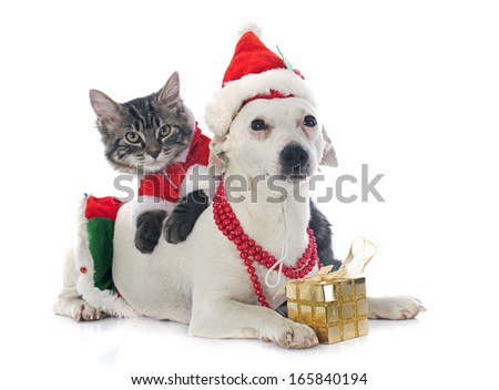 portrait of a purebred jack russel terrier and kitten for christmas in studio - stock photo