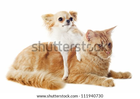 portrait of a purebred  maine coon cat and chihuahua on a white background