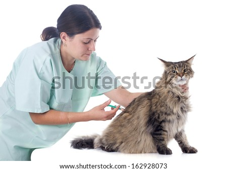 portrait of a purebred  maine coon cat and vet