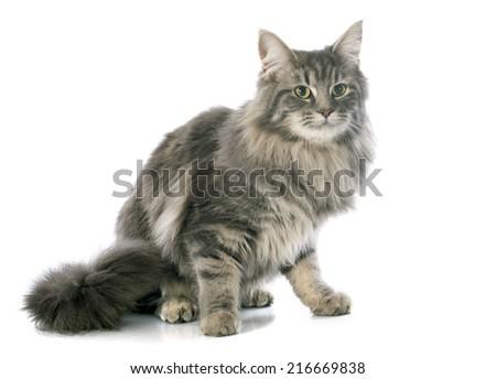 largest shorthair cat
