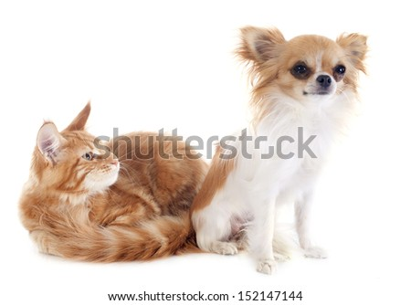 portrait of a purebred  maine coon kitten and chihuahua on a white background