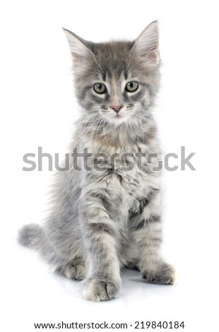 portrait of a purebred  maine coon kitten on a white background - stock photo