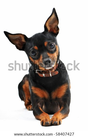 portrait of a purebred miniature pinscher on a white background, focus on the eyes - stock photo