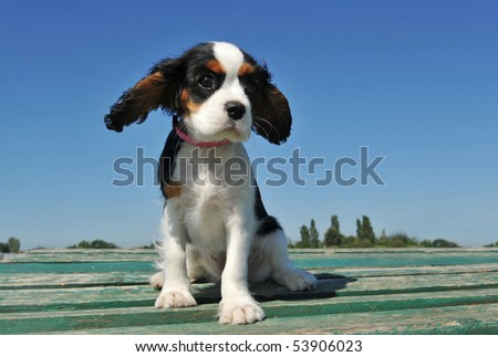 portrait of a purebred puppy cavalier king charles - stock photo