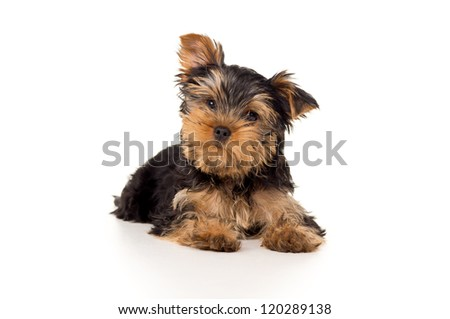 portrait of a purebred puppy isolated on white background - stock photo