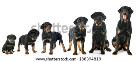 portrait of a purebred puppy rottweiler in front of white background - stock photo