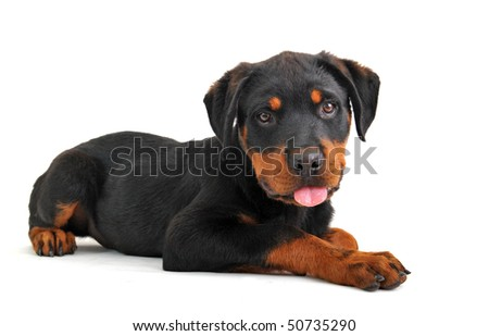 portrait of a purebred puppy rottweiler on a white background