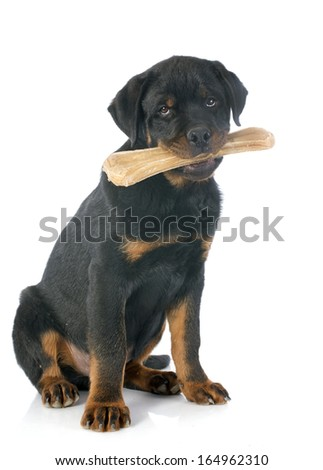 portrait of a purebred puppy rottweiler with a bone in front of white background