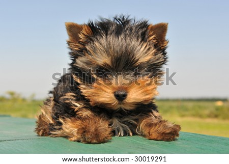 portrait of a purebred puppy yorkshire terrier - stock photo