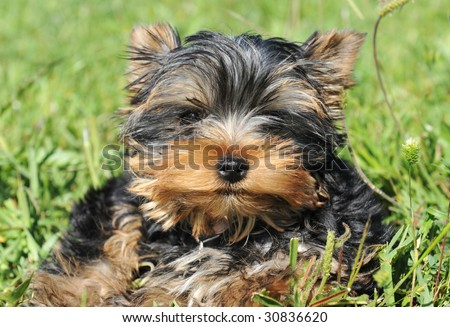 portrait of a purebred puppy yorkshire terrier in a field - stock photo