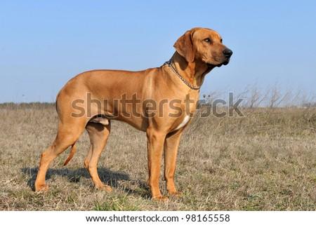 portrait of a purebred rhodesian ridgeback in a field - stock photo