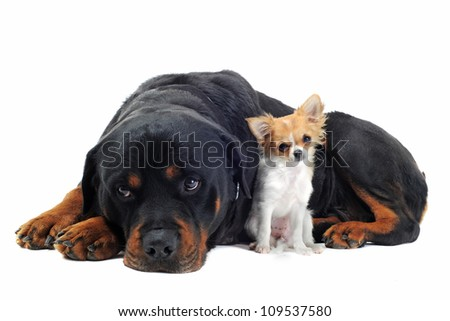 portrait of a purebred rottweiler and puppy chihuahua in front of white background - stock photo