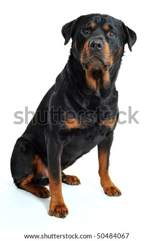 portrait of a purebred rottweiler on a white background