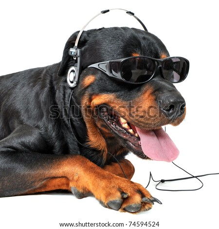 portrait of a purebred rottweiler with sunglasses and music in front of white background