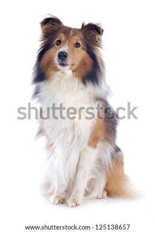 portrait of a purebred shetland dog in front of white background