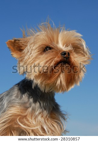 portrait of a purebred yorkshire terrier on a blue sky - stock photo