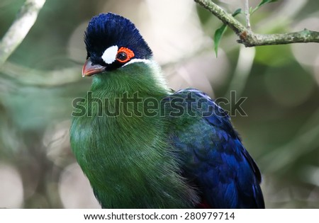 Portrait of a purple crested turaco or loerie bird - stock photo