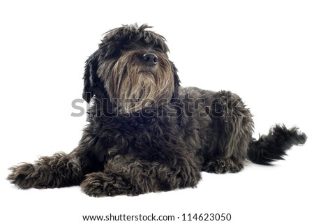 portrait of a pyrenean sheepdog in front of white background