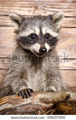Portrait of a raccoon on a wooden background - stock photo