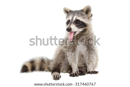 Portrait of a raccoon, that shows tongue, isolated on white background