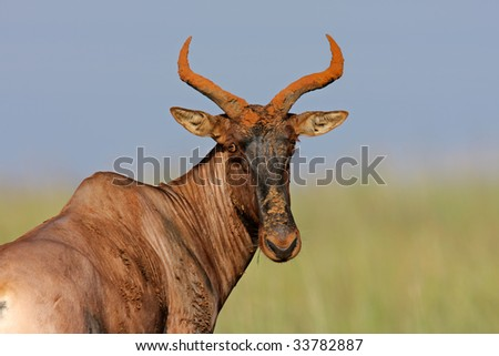Portrait of a rare tsessebe antelope (Damaliscus lunatus), South Africa