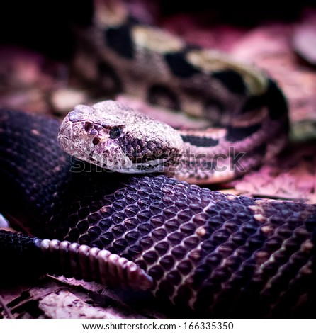 portrait of a rattlesnake looking at camera - stock photo