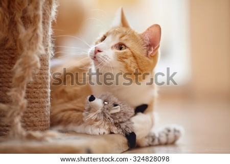 Portrait of a red domestic cat on a floor with a toy. - stock photo