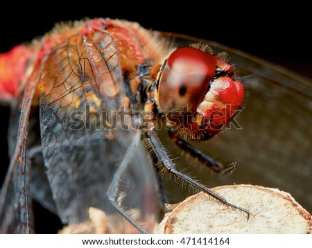 Portrait of a red dragonfly in the summer garden