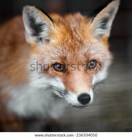 Portrait of a red fox male, vulpes vulpes.  - stock photo