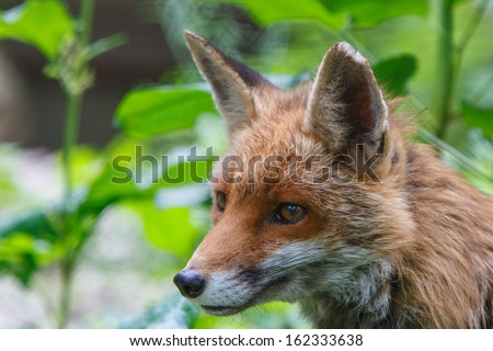 Portrait of a red fox (Vulpes vulpes) - stock photo