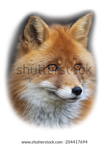 Portrait of a red fox, vulpes vulpes, isolated on white background. The head of the beautiful forest wild beast. Smart look of the vulpes, skilled raptor and elegant animal. Cute and cuddly creature. - stock photo