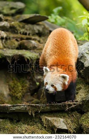 Portrait of a Red Panda. Shining cat. Curious Firefox. Climbing on the rocks. ( Ailurus fulgens )