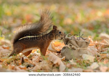 Portrait of a red squirrel looking into a bag with nuts - stock photo