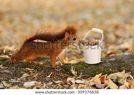Portrait of a red squirrel looking into a bucket with nuts - stock photo