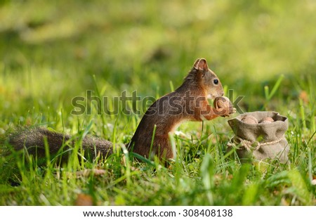 Portrait of a red squirrel sitting near a bag with nuts - stock photo