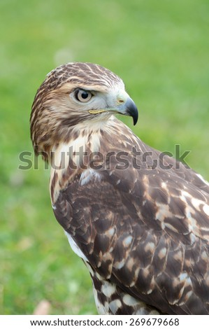 Portrait of a red-tailed hawk, Buteo jamaicensis, looking at behind - stock photo